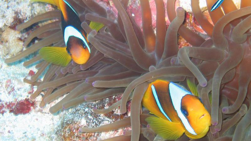 anemone-fish-red-sea-egypt.jpg