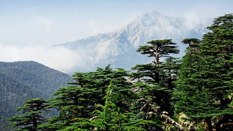 cedars-woods-lebanon.jpg