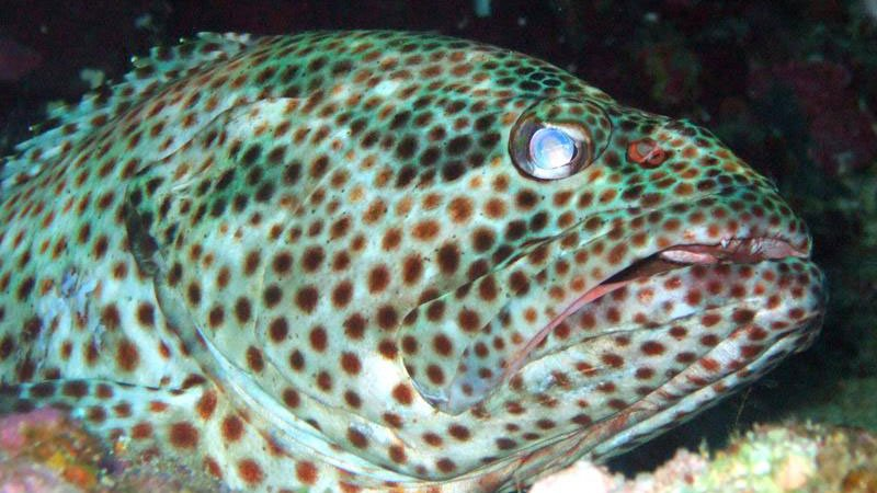 spotted-grouper-red-sea-egypt.jpg