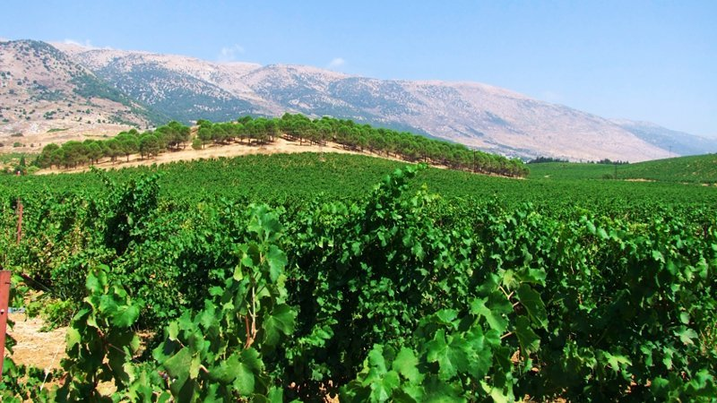 vineyard-lebanon.jpg